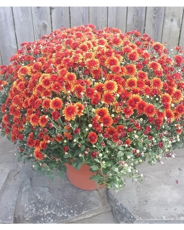 3 Beautiful  Assorted Fall Mums in 9 Plant