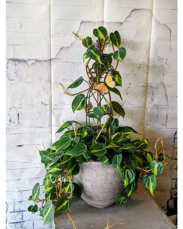 Newport Philodendron with Trellis Plant