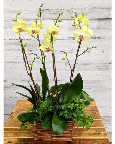 Yellow Orchid Garden Plant