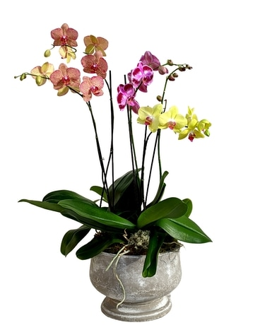 Colorful Mossy Orchid Garden Plant
