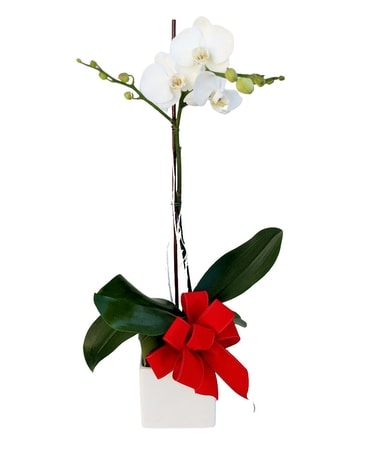 Orchid with Christmas Bow Plant