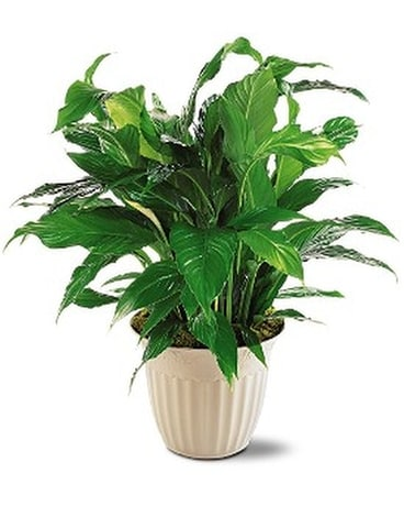 Spathiphyllum Plant Flower Arrangement