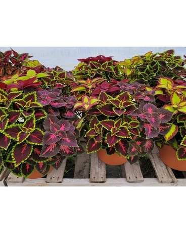 Mixed Coleus Patio Pot