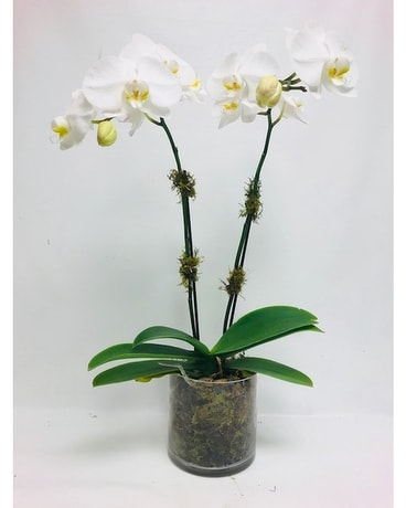 Double Stemmed Orchids Custom product