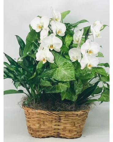 Plant Basket with Orchids Flower Arrangement