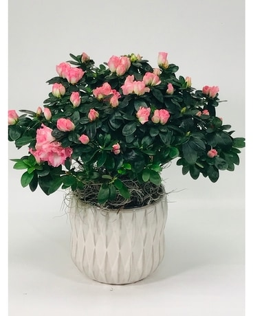 Blooming Azalea Flower Arrangement