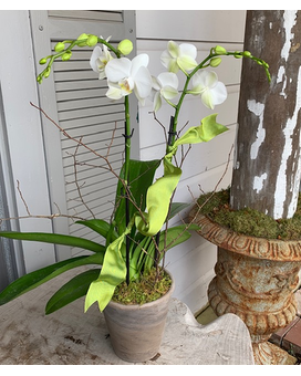 5'' White Phalaenopsis Orchid Flower Arrangement
