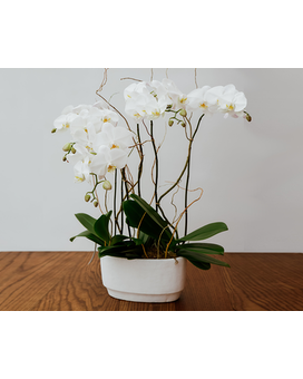 White Phalaenopsis Orchids Plant