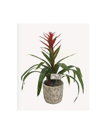 You Rock Bromeliad-Deluxe