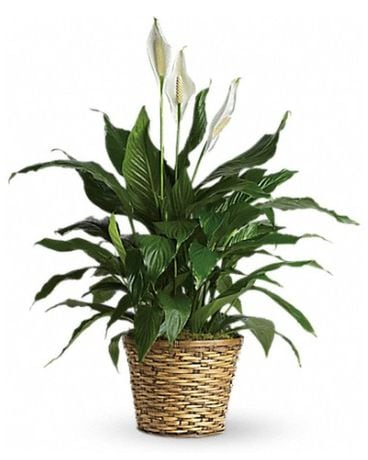Simply Elegant Spathiphyllum Flower Arrangement