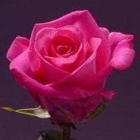 Dark Pink Hot Roses