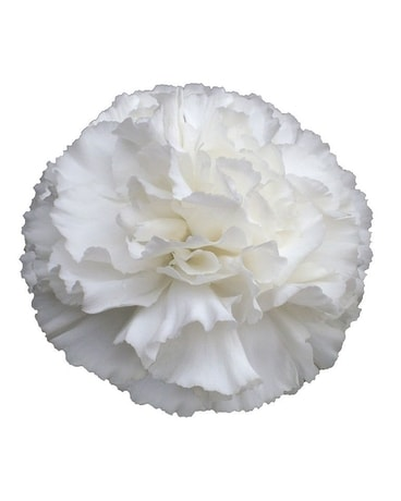 white carnation in el paso tx debbie s bloomers