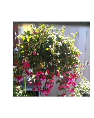 Hanging Basket Shade Plant