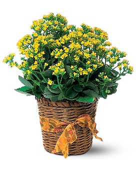 Vivid Yellow Kalanchoe Plant Flower Arrangement