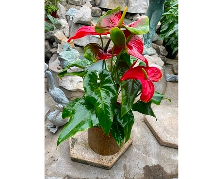 6 inch anthurium in clay pot Plant