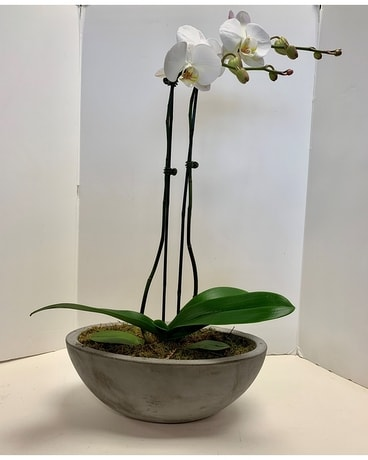 Orchid in Concrete elegant container Flower Arrangement