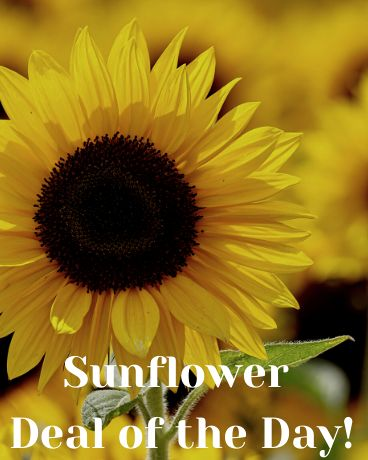 Sunflower Deal of the Day