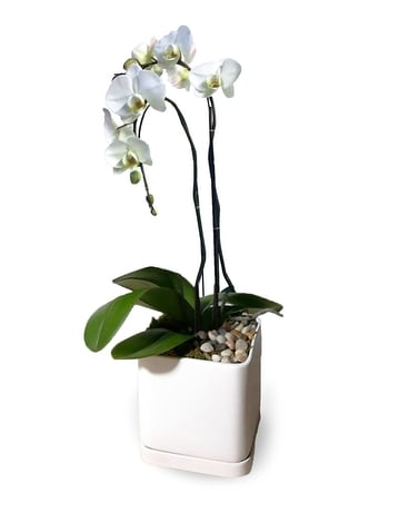Sophisticated Love Orchid