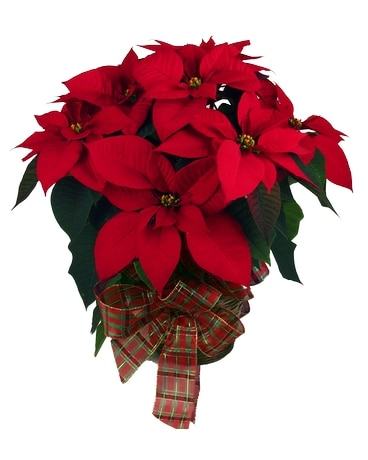 Assorted Poinsettias