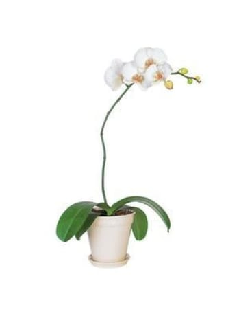 White Phalaenopsis Orchid Flower Arrangement