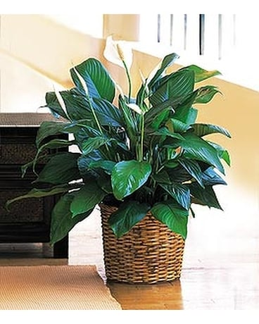 Medium Spathiphyllum Plant - by Cottage Florist Flower Arrangement