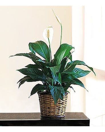 Small Spathiphyllum Plant - by Cottage Florist Flower Arrangement