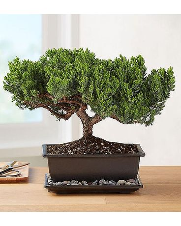 Juniper Bonsai In Bradenton Fl Ms Scarlett S Flowers Gifts