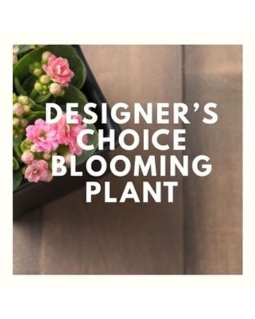 Designer's Choice Blooming Plant
