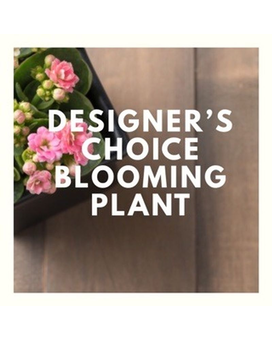 Designer's Choice Blooming Plant Plant