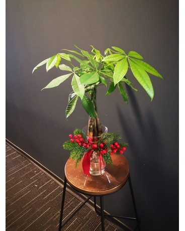 Holiday Money Tree Cheer Plant