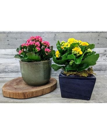 Potted Kalanchoe Plant