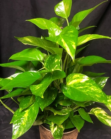 Pothos Ivy Flower Arrangement