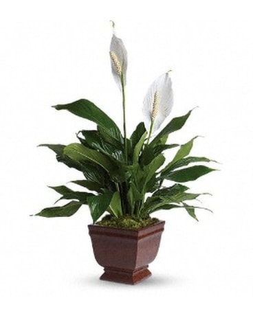Teleflora's Lovely One Spathiphyllum Plant Flower Arrangement