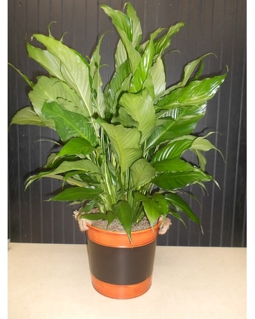 Peace Lily in Orange & Black Chalkboard Tin Plant