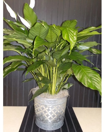 Peace Lily in Silver Tin with Lattice Accent Plant