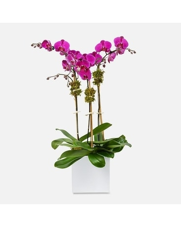 Magnificent Purple Orchid Plant