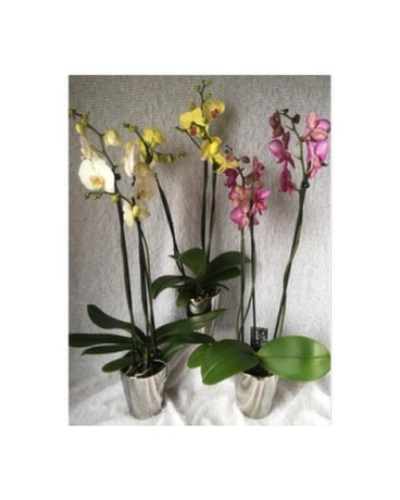 Danielle's Graceful Orchids