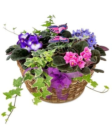 Grandma's Violets and Butterflys Plant