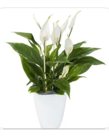 Easter Lilly Plant