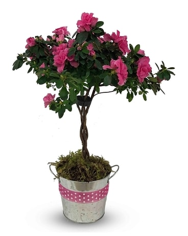 Flowering Azalea Tree