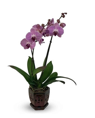 Fantasy Orchid Plant