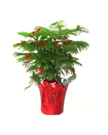 Norfolk Pine Tree Plant