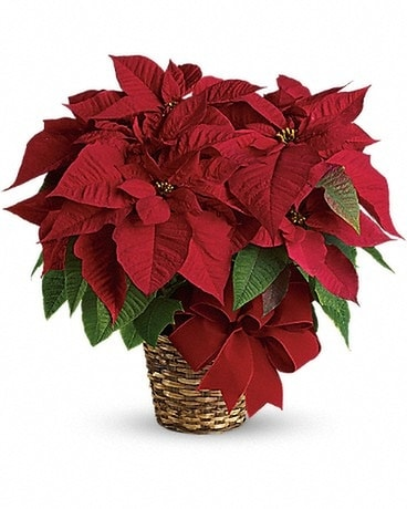 Red Poinsettia Available in 3 Sizes Flowers