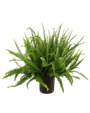 Flash fern sale