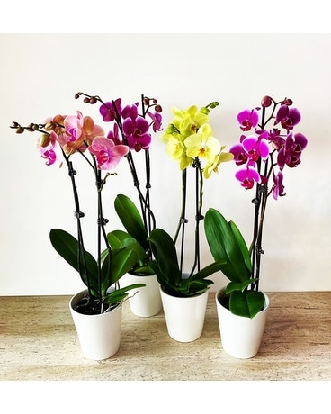 Special! Potted Orchid (see description) Plant