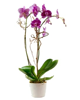 Grand Orchid Plant