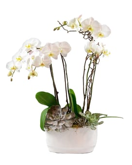 Orchid Magnificence Plant