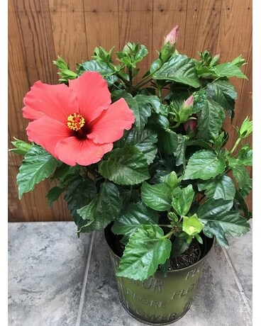 Hibiscus In Belleville On Live Love And Laugh Flowers Antiques