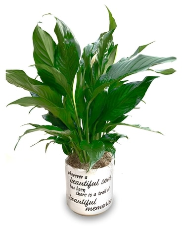 Peace Lily - Beautiful Soul Plant