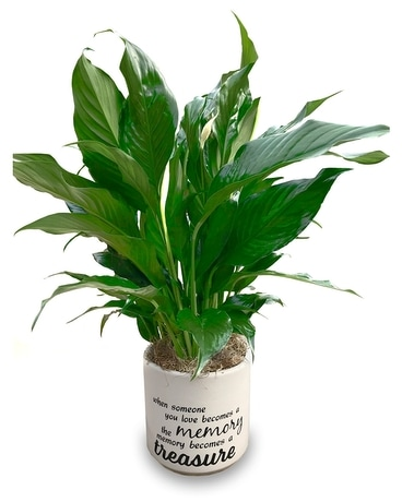 Peace Lily - Memory becomes a Treasure Plant